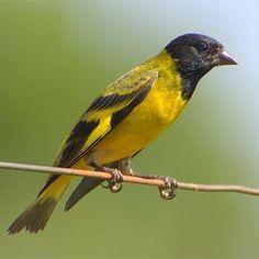 pintassilgo_carduelis (spinus) magellanicus - Brazilian Birds