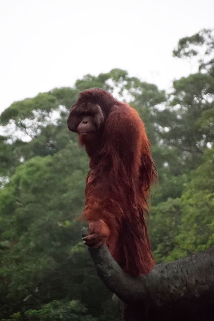 Urangutan in Taipei Zoo