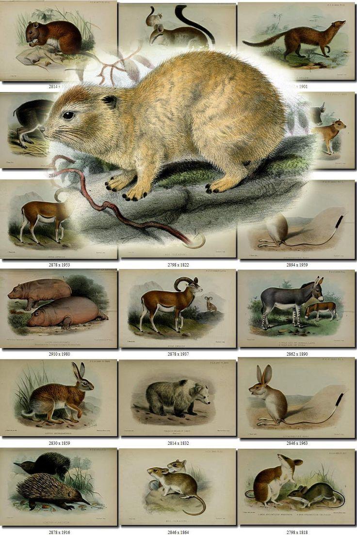 MAMMALS-52 Collection of 247 vintage images animals collage Hyrax dassie Cheetah Rabbit animals High resolution digital download printable by ArtVintages on Etsy