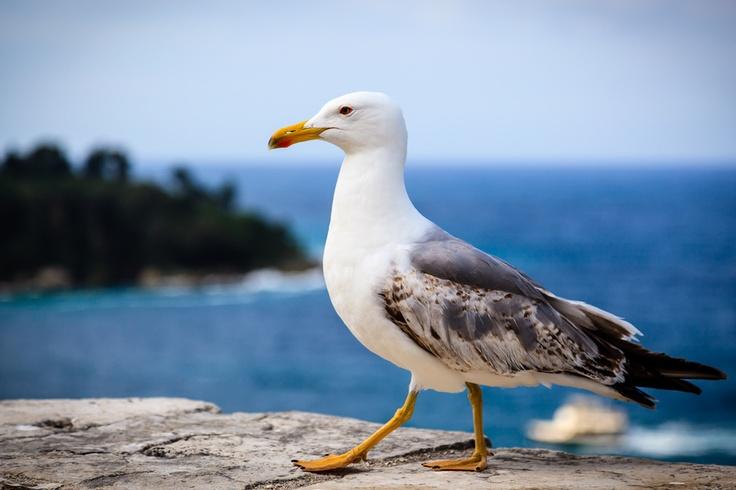 Graceful Seagull