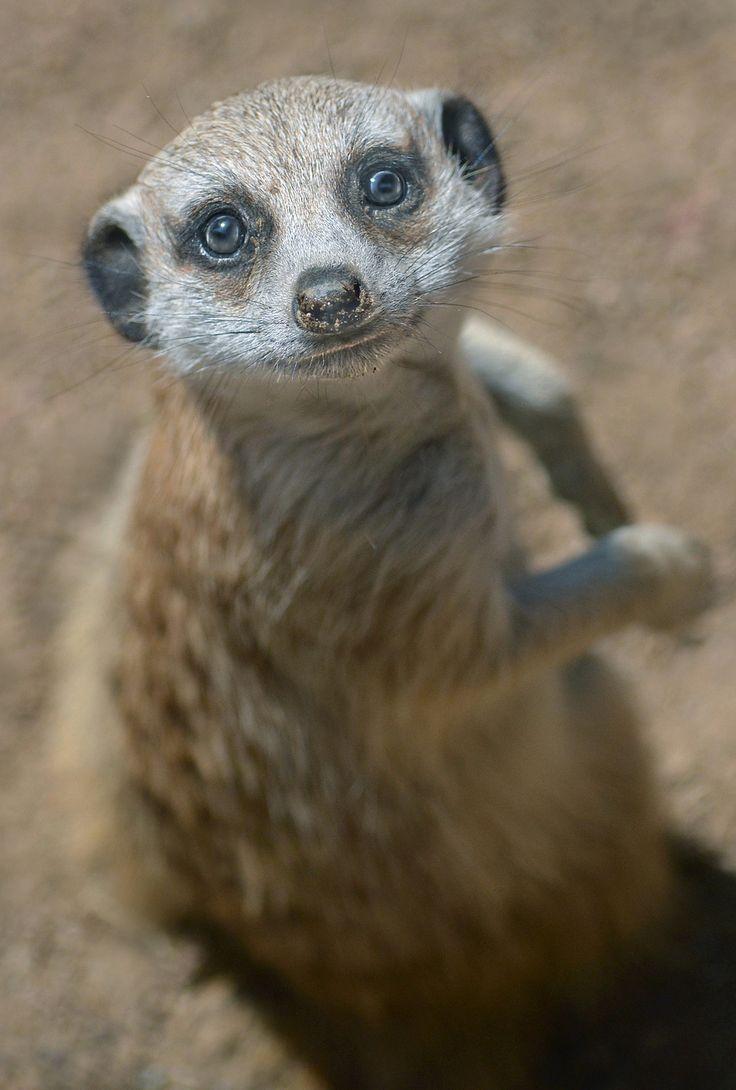 34 Best Meerkats Images On Pinterest Adorable Animals Wild
