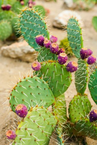 Prickly Pear Cactus  http://haircare.ricagroup.com/opuntia-oil/ #pricklypearcactusflower