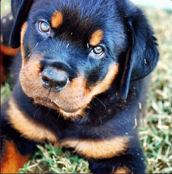 My Maximus When He Was A Babe Almost A Year Old Now Love Him So Much Best Dogs Ever Rottweiler Rottweiler Pu Rottweiler Rottweiler Puppies Rottweiler Dog