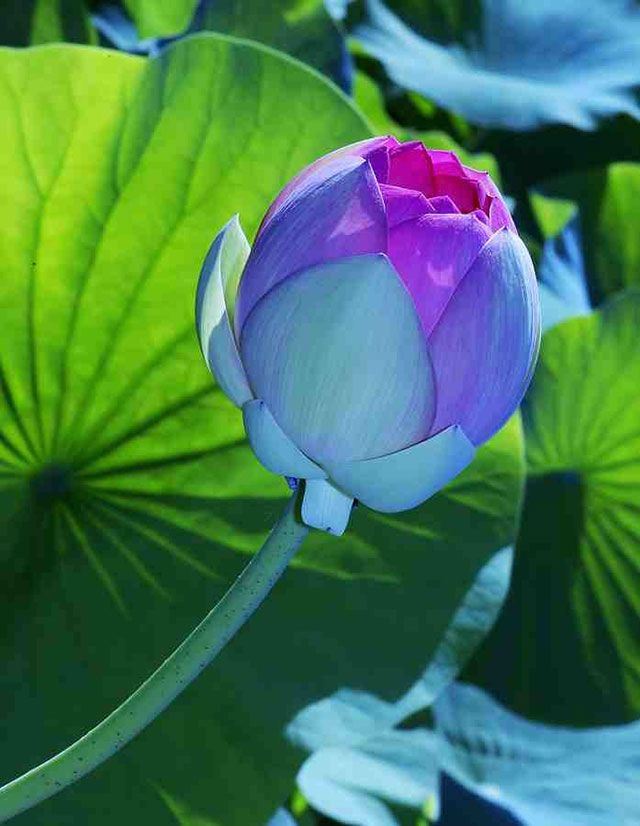Carnival of color: 30 of the most incredible multi-colored flowers in the world - Blog of Francesco Mugnai--Blue Lotus