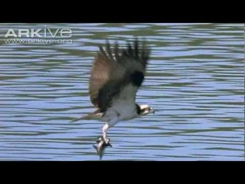 Gorgeous video of an osprey fishing: Osprey -- the ultimate fisher