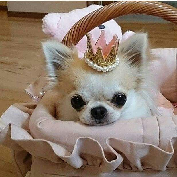 """I'm a Princess!"" - Tap the pin for the most adorable pawtastic fur baby apparel! You'll love the dog clothes and cat clothes! <3"