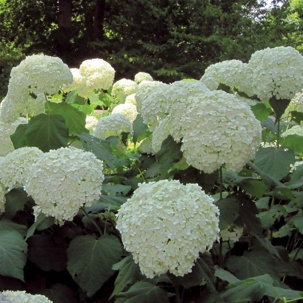 best 25 incrediball hydrangea ideas on pinterest. Black Bedroom Furniture Sets. Home Design Ideas