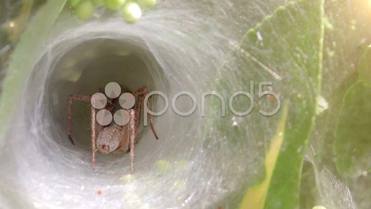 $12.50 - funnel spider