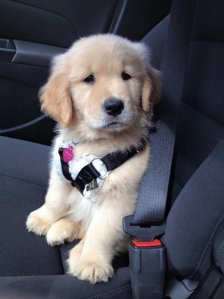Simplemente adorable ❤ little Golden Retriever puppy with its safety harness on...!