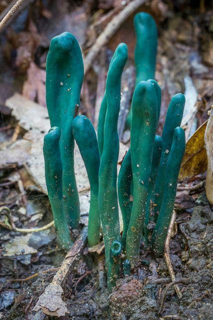 More Amazing Fungi at Sassafras Gully – 9 April 2017   David Noble Blog