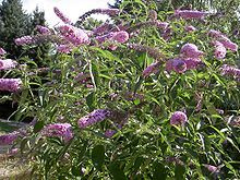 Buddleja davidii - Wikipedia, the free encyclopedia Buddleja davidii (spelling variant Buddleia davidii), also called summer lilac, butterfly-bush, or orange eye,