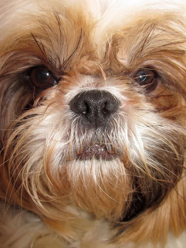 facts about shih tzu 17 best images about shih tzu dog art portraits 7465