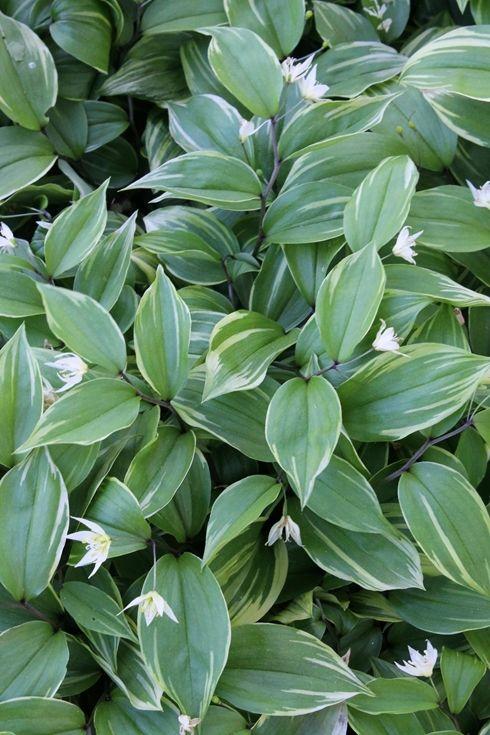 Disporum smilacinum 'Aureovariegata'