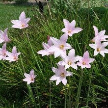 Habranthus 'Pink Flamingos' - a Yucca Do Introduction (Avent)