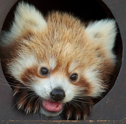 """""""Hey guys!"""" The Zoological Society of London's Whipsnade Zoo is getting a glimpse of their Red Panda twins for the first time since they were born in June."""