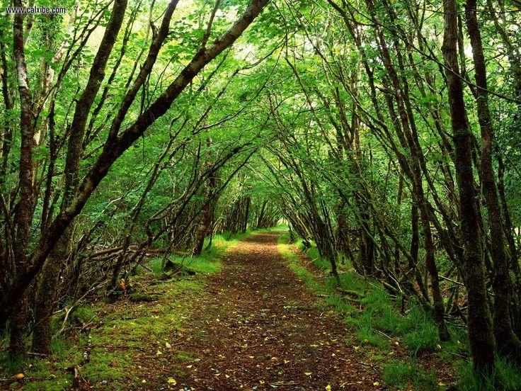Rossacroonaloo Wood Near Kilgarvan County Kerry, Ireland.