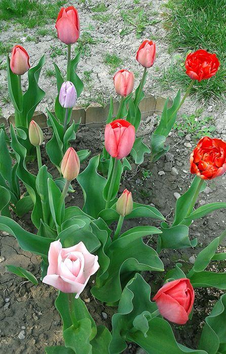 Tulipánok a kertemben #tulipán #virág #virágzik #tavasz #imádom
