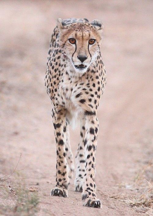 (via 500px / Cheetah straight on by Ryan Jack)