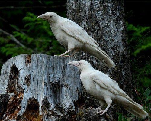 White Raven Vancouver Island Tumblr