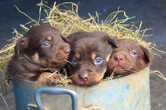 Kelpies   Cute kelpies   Herald Sun