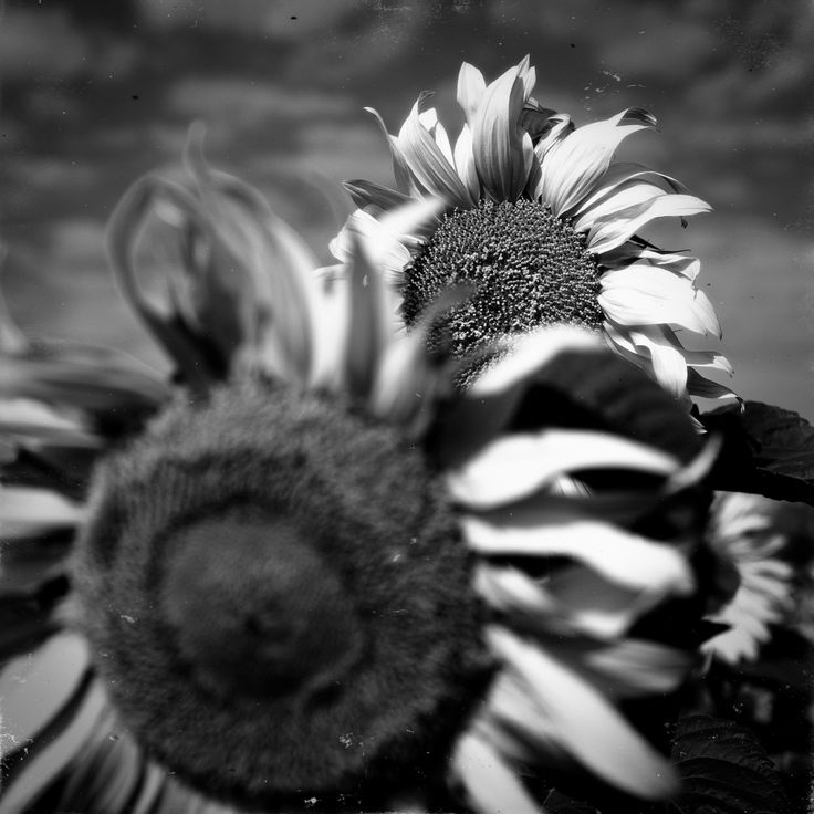 Sunflowers by Ivan Popov on 500px