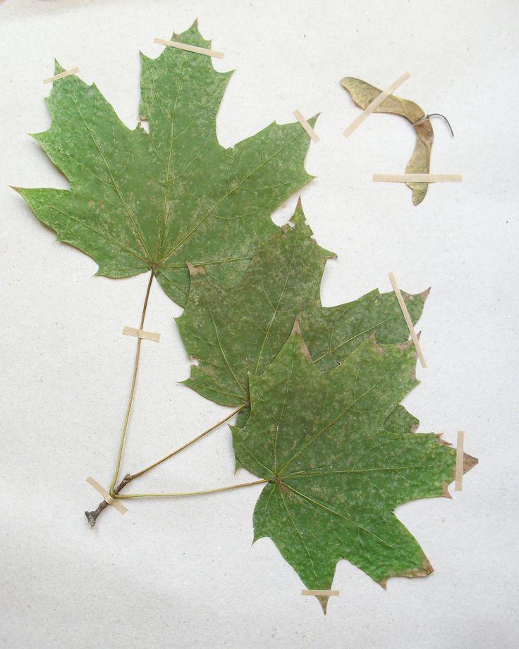 Acer platanoides Sapindaceae Sapindales