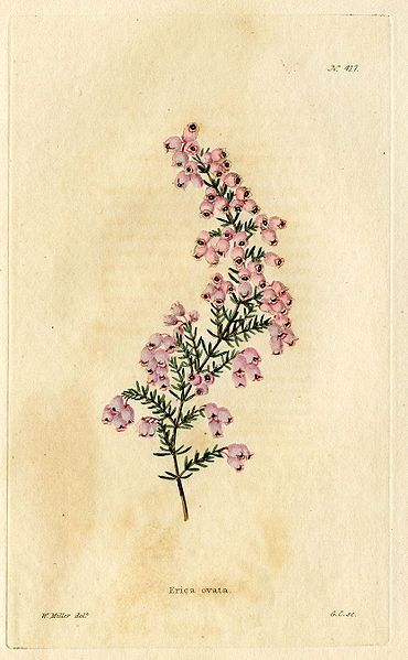 """//////// Erica Ovata drawn by William Miller from """"The Botanical Cabinet"""" (London 1817-1833)"""