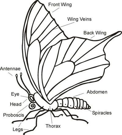 Parts Of A Butterfly 5 Pictures Monarch Body In Category