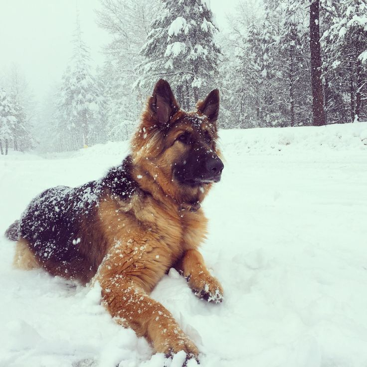 German Shepherd Dog GSD