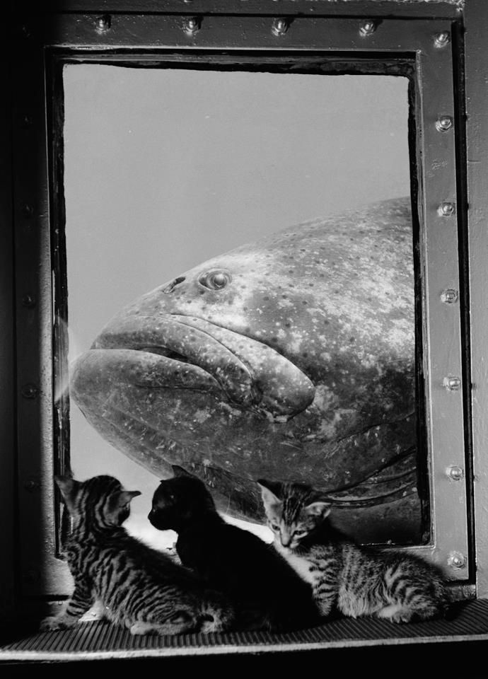 Lots of problems to solve to get a taste of this fish.  A grouper is examined by three kittens at Marineland in Florida, 1938,PHOTOGRAPH BY LUIS MARDEN, NATIONAL GEOGRAPHIC