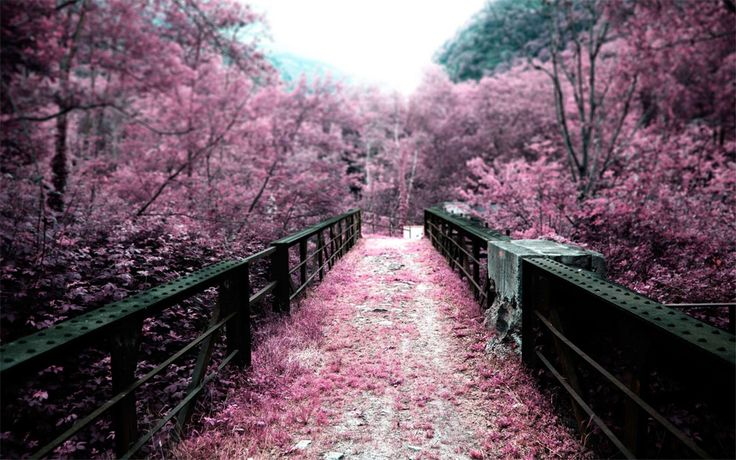 For those that like pink... or Spring. Enjoy.: Pink Flower, Cherries Blossoms, Pink Color, Paths, Color Inspiration, Beautiful, Pink Wedding Color, Bridges, Depth Of Fields