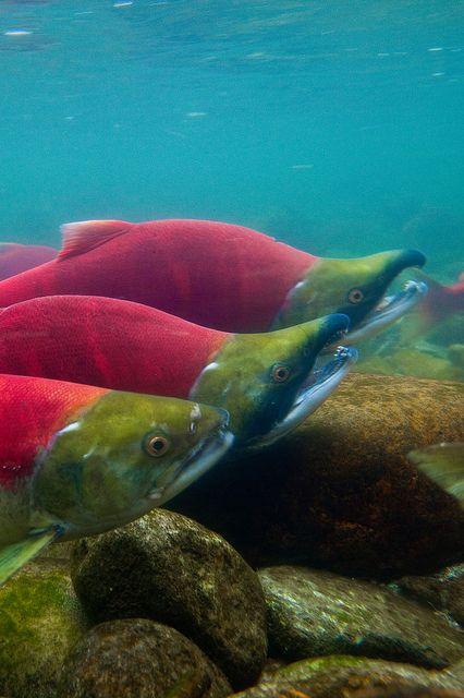 Underwater View of Sockeye Salmon in Adams River by Lee Rentz, via Flickr…