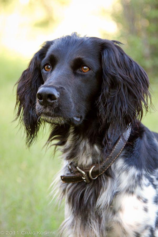 Pointing Dog Blog: Breed of the Week: The Large Munsterlander