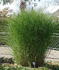Miscanthus sinensis 'Gracillimus' - Chinaschilf, Eulalia-Gras