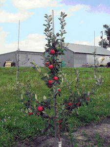 Simple steps to growing apple trees. From university of MN