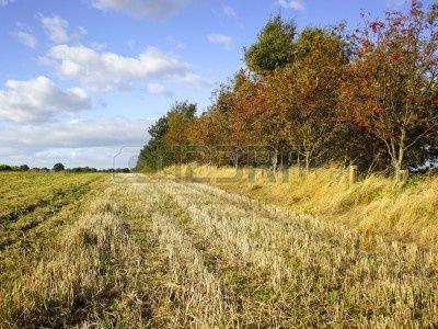 una fila de fresnos de montaña con bayas rojas al lado de un campo de rastrojo en otoño  Foto de archivo