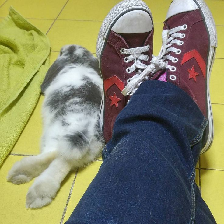 Tico (@tico_el_conejo_holandes) Hace un calor....It's so hot...😓😓 #dwarflop #hollandminilop #hollandlop #dwarfrabbit #dwarfbunny…""