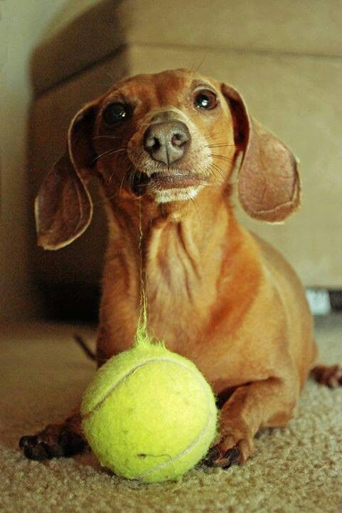 502 best Doxies images on Pinterest Dachshund dog, Sausages and - why is there fuzz on a tennis ball