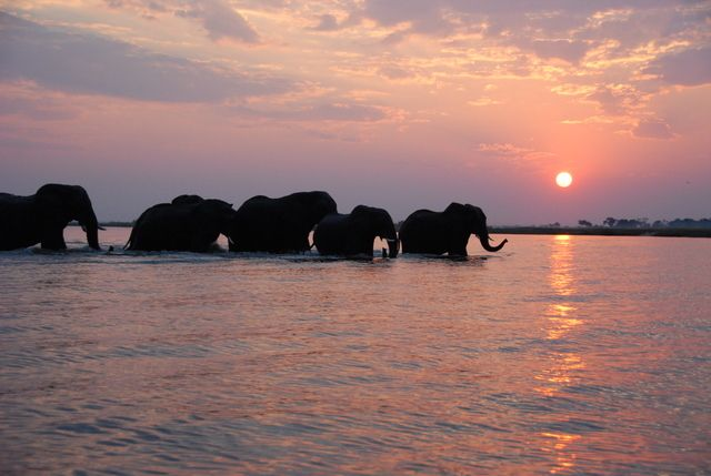 In the Chobe region huge herds of elephant can be seen all year round, often swimming across the river in front of our Zambezi Queen Collection houseboats to get to the lush Caprivi grasslands.