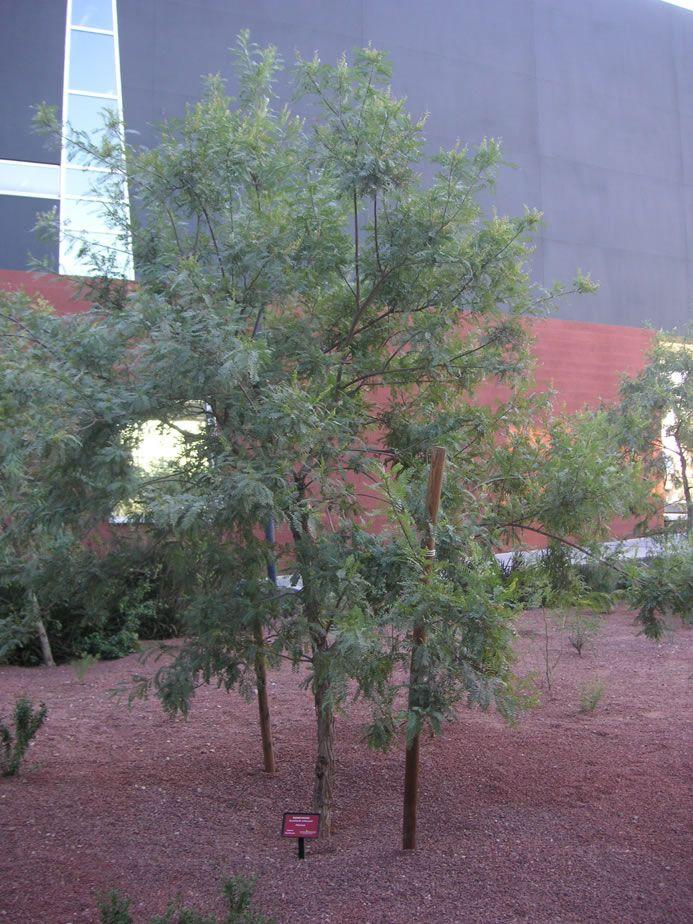 Eysenhardtia Orthocarpa Arizona Kidneywood Semi