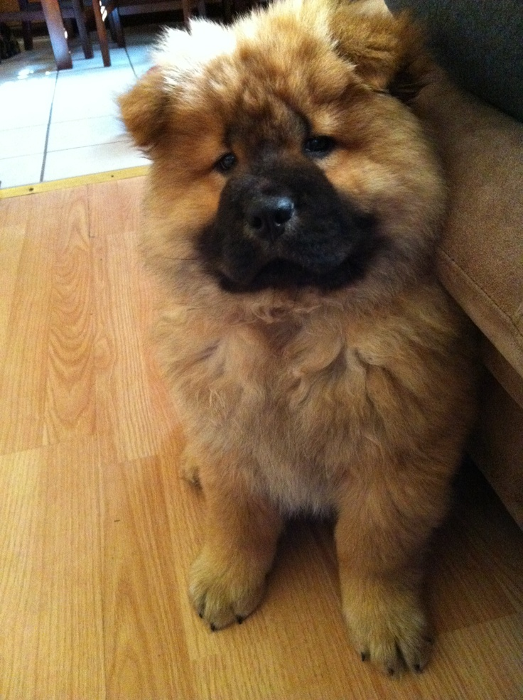 Must see Spherical Chubby Adorable Dog - edaabcf791801613dc214eb470bdafae--puppy-chow-chow-chow  Photograph_369344  .jpg