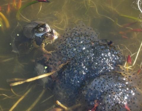 Common Frog: The spawn of a new day   Peter Orchard
