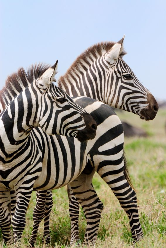 Look there Daddy, do you see? There's a horse in striped pajamas! No, that's not what it is at all...that's an animal People call a zebra! I see...but it still looks like a horse in striped pajamas...to me!