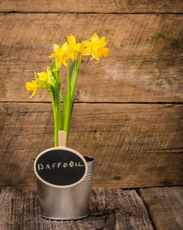 Download Free              Daffodil and Sign            #               arrangement #background #barnboard #blooms #blossom #chalk board #clump #containers #copy space #daffodils #dirt #floral #flowers #garden #green #message #metal #nature #petals #plants #pots #potted #rustic #sign #soil #spade #spring #tools #wood #yellow