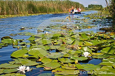 Boat sailing on a chanel of Danube Delta. Water lilyes and water lily flowers.