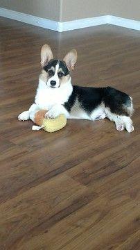 Pembroke Welsh Corgi puppy for sale in GILBERT, AZ. ADN-48462 on PuppyFinder.com Gender: Male. Age: 4 Months Old