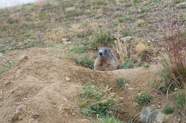 Auch die Murmeltiere fühlen sich in der intakten Naturlandschaft im Vinschgau wohl