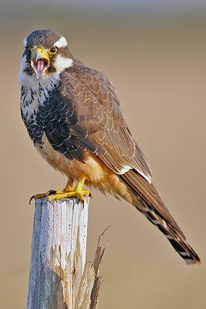 Le Faucon aplomado (Falco femoralis) est une espèce de rapace diurne appartenant à la famille des Falconidae.