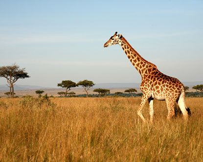 Facts About Giraffes Animals