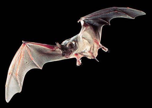 murciélago brasileño o murciélago de cola de ratón.
